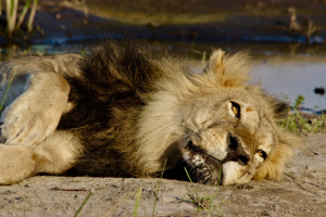 A lion finds some shade from the African sun