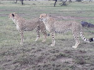 Two male cheetahs before a chase