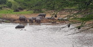 Hippos in the Mara River opposite Karen Blixen Camp, Kenya